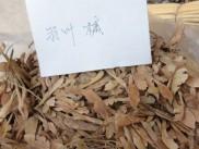 羽叶槭种子